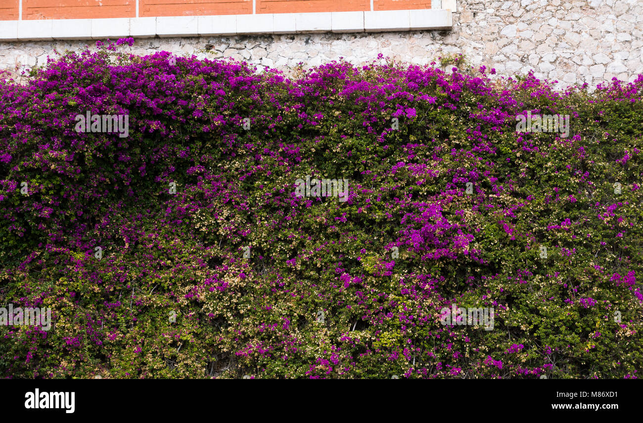 Climbing Vine Wall Covering Purple Flowers In Villefranche Stock