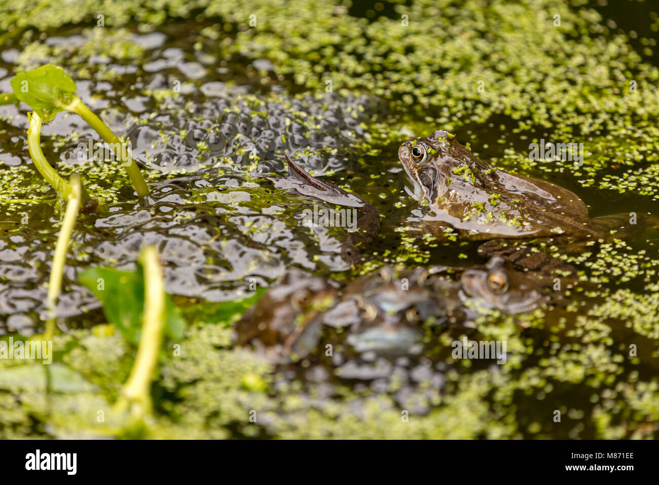 Common Frogs mating in garden pond covered with blanket weed,England - Stock Image