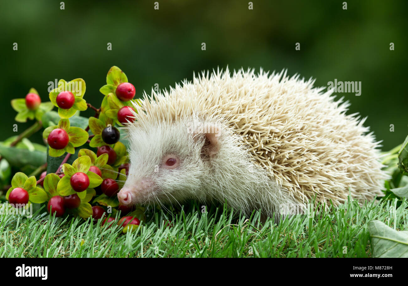 Hedgehog, native, wild European rare, white, albino hedgehog with red berries.  erinaceus europaeus. Landscape Stock Photo