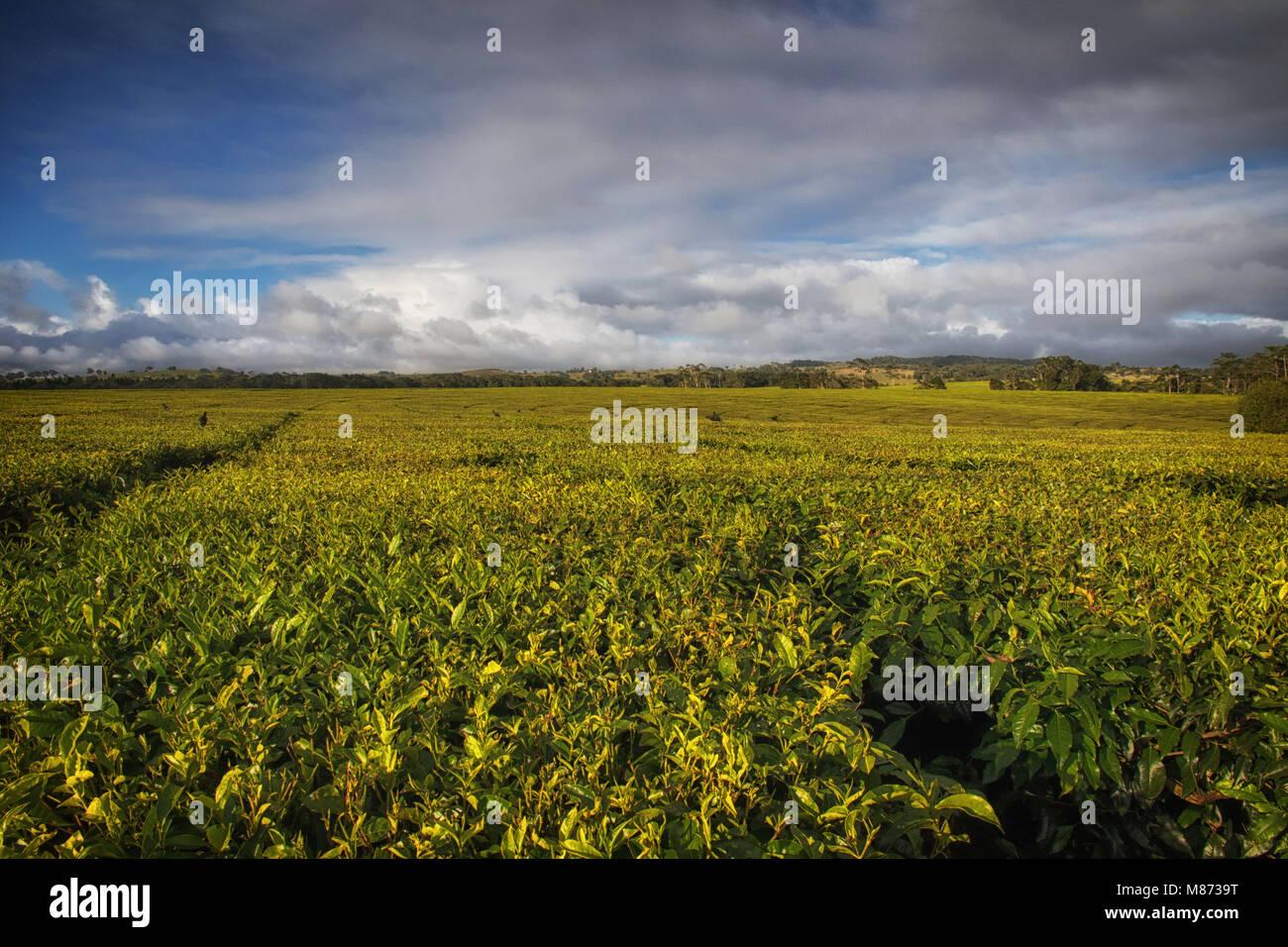 Tea plantation Atherton tableland Australia - Stock Image