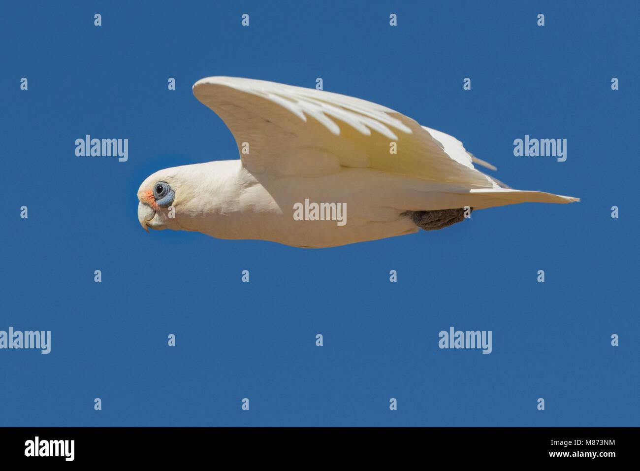 Little corella in flight - Stock Image