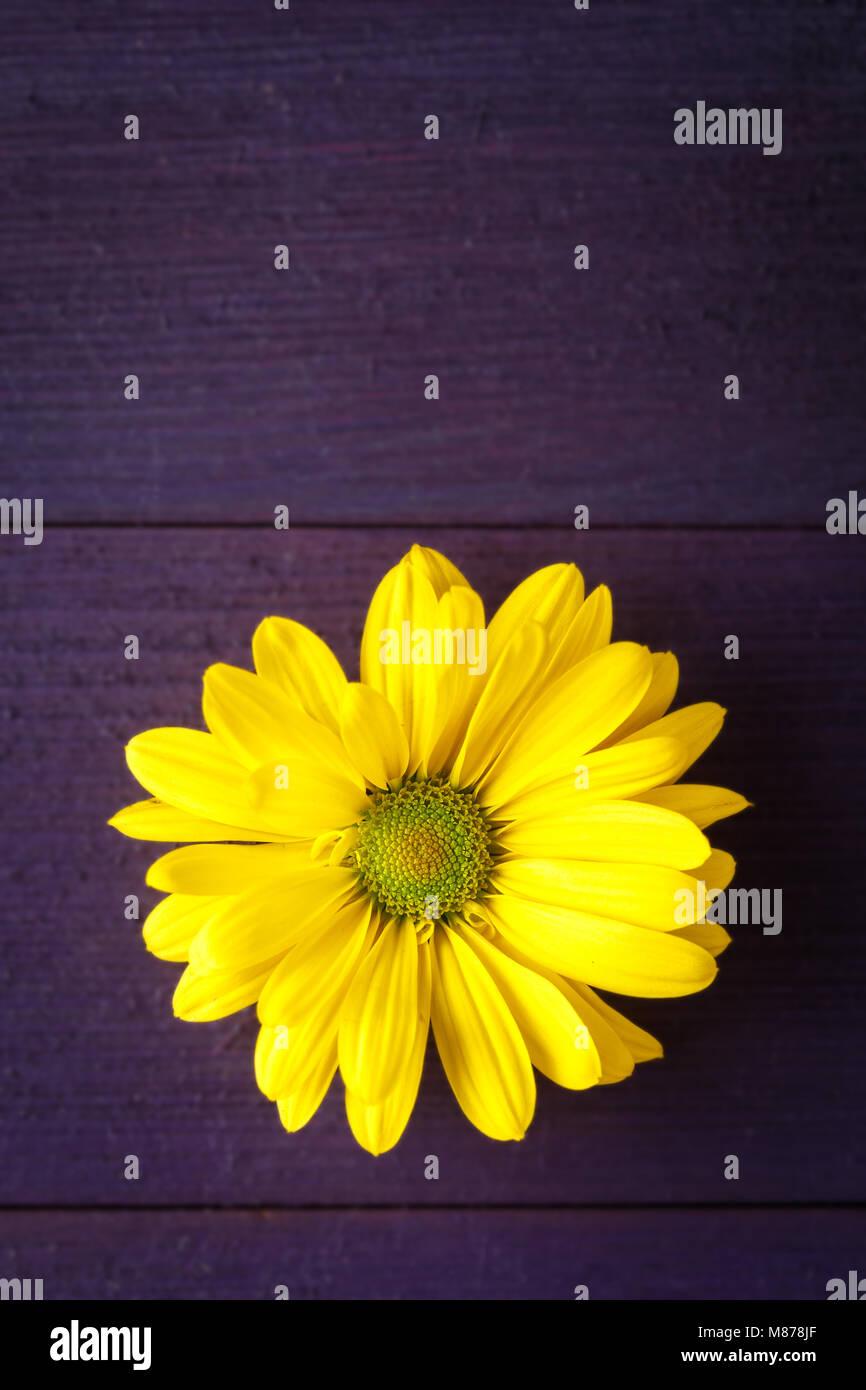 Single Yellow Mum Flower On Purple Wooden Surface Stock Photo
