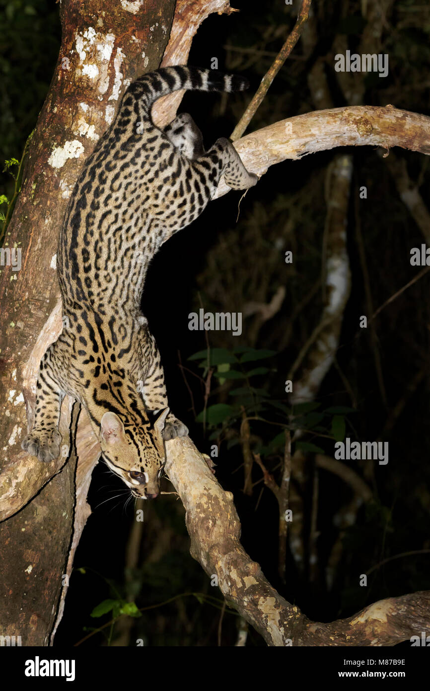 Ocelot (Leopardus pardalis) climbing down tree at night, Pantanal, Mato Grosso, Brazil - Stock Image