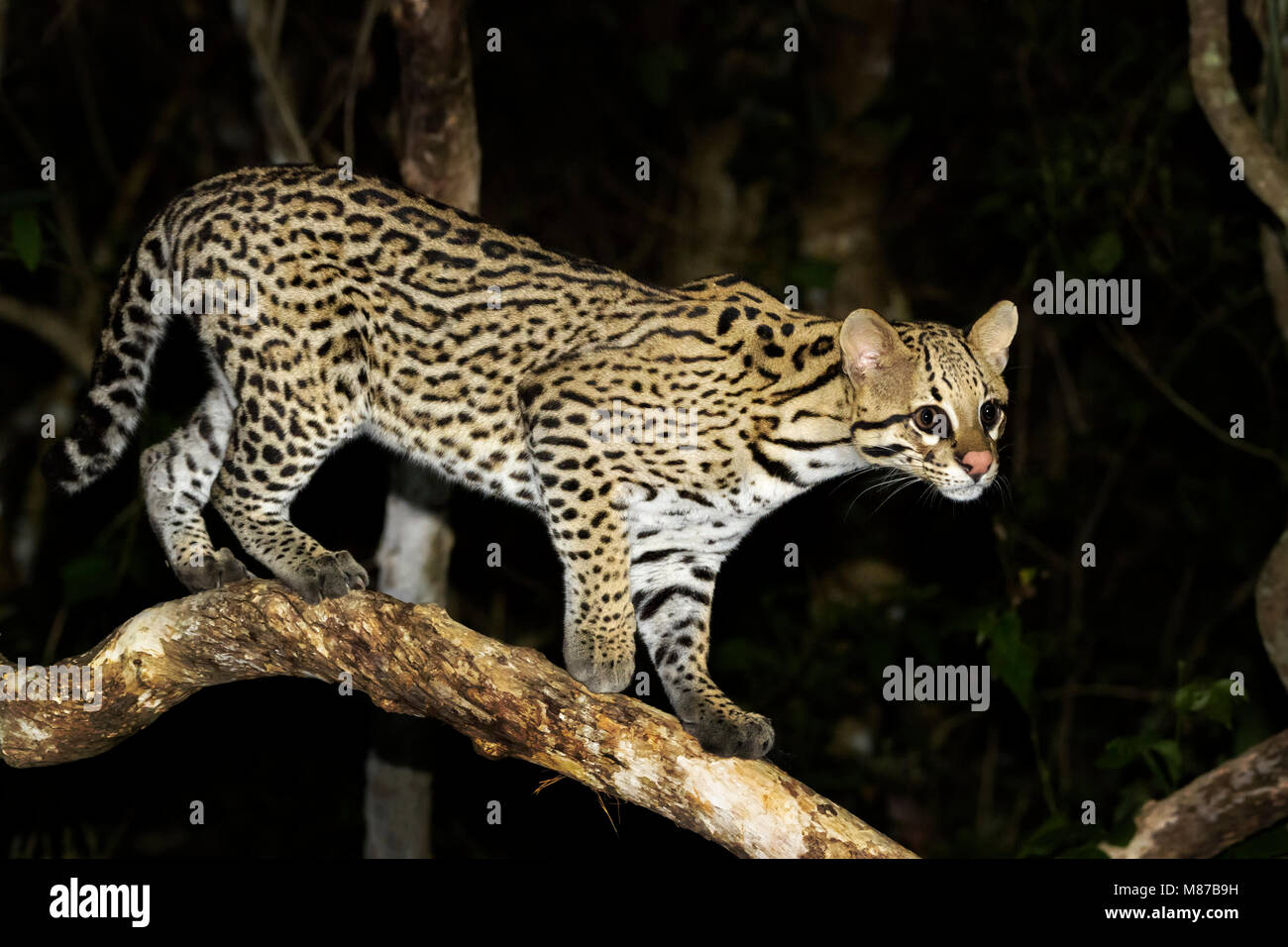 Ocelot (Leopardus pardalis) at night, Pantanal, Mato Grosso, Brazil - Stock Image