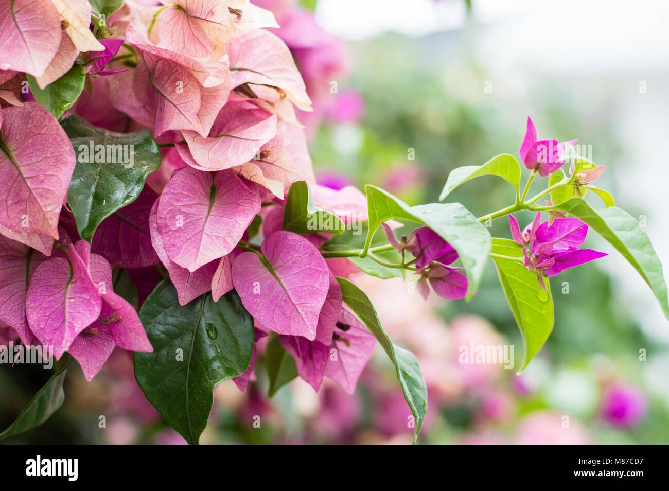 Fuchsia Lesser Bougainvillea Or Paperflower Bougainvillea