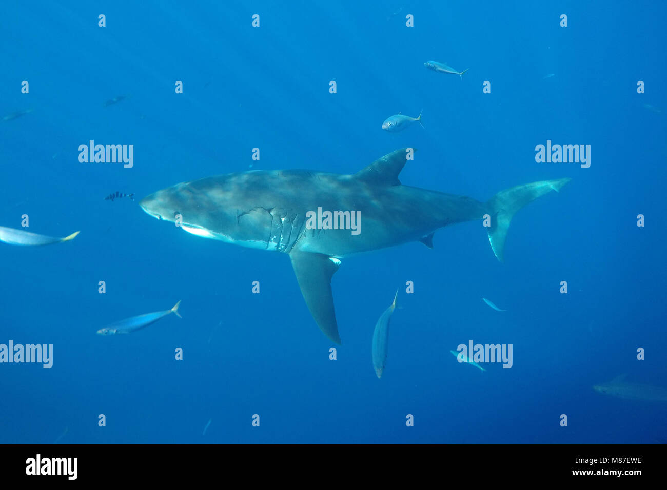 Great white shark swimming in Guadalupe Island, Mexico - Stock Image