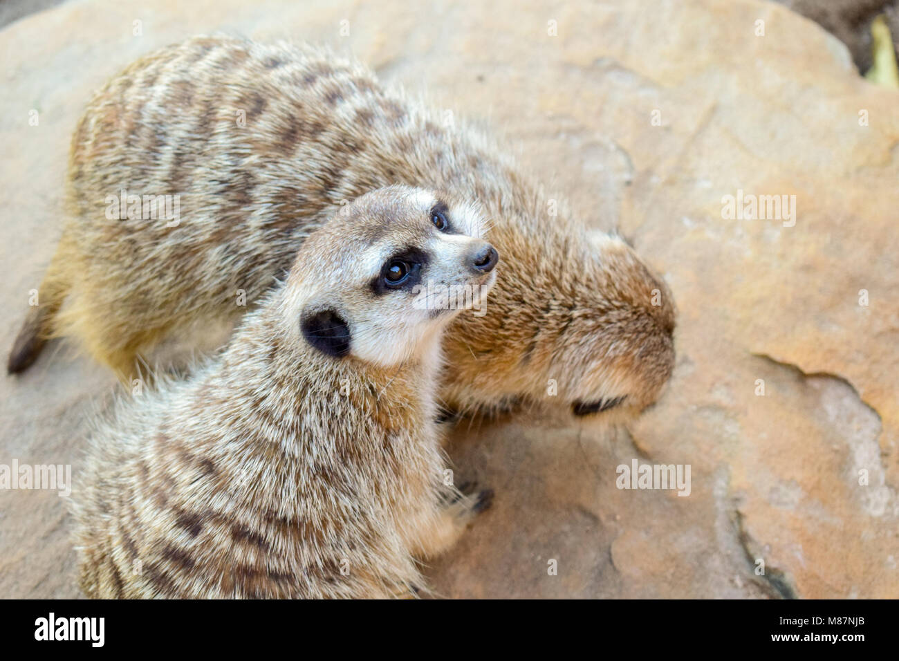 two meerkat sitting on a rock - Stock Image