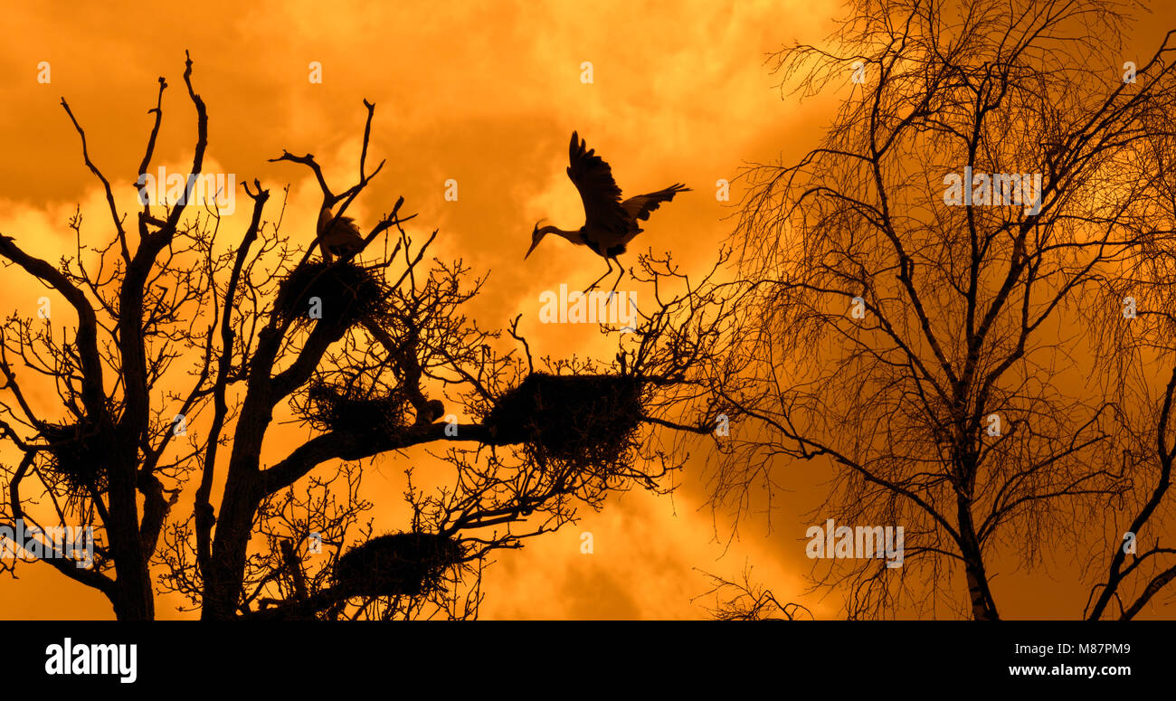 Grey heron (Ardea cinerea) landing on nest in tree at heronry / heron rookery silhouetted against orange sky at Stock Photo
