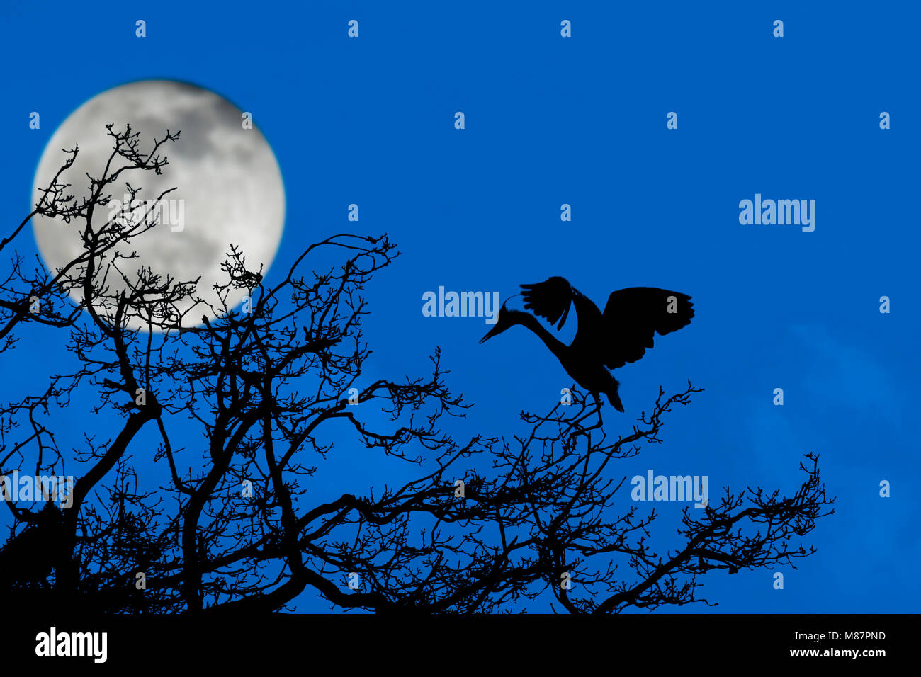 Grey heron (Ardea cinerea) landing on nest in tree at heronry / heron rookery silhouetted at night with full moon - Stock Image