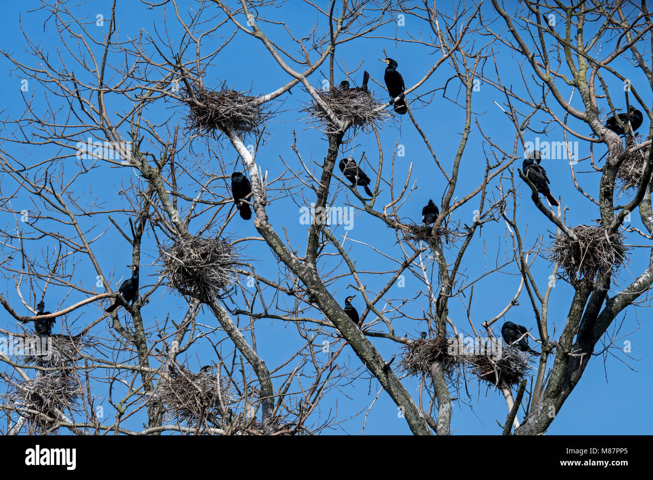 Colony of great cormorants (Phalacrocorax carbo) nesting in dead tree in late winter / spring - Stock Image