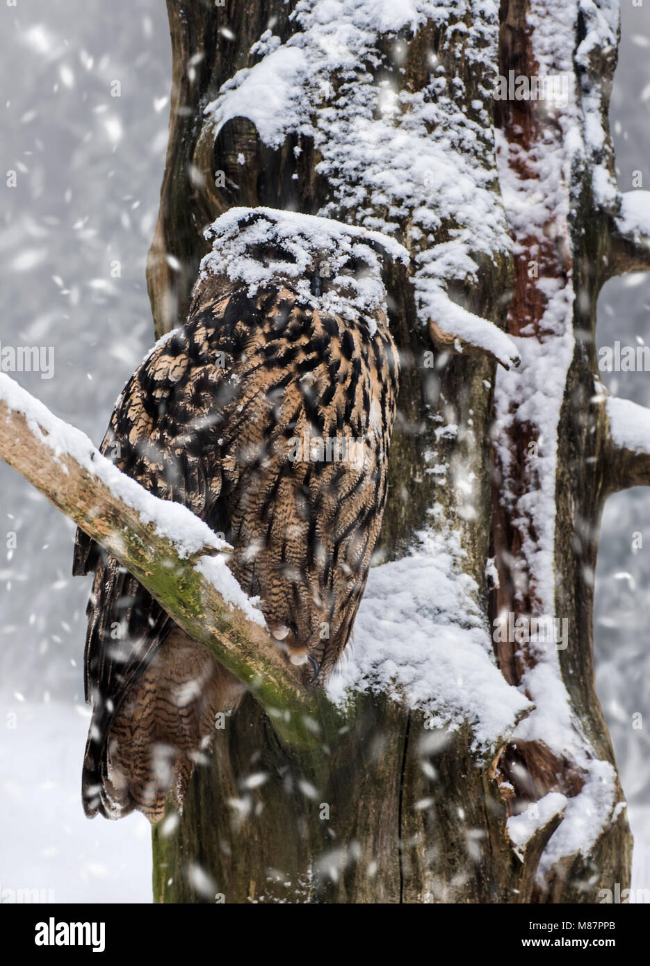 Eurasian eagle-owl / European eagle owl (Bubo bubo) with face covered in snow perched in tree during snow shower - Stock Image