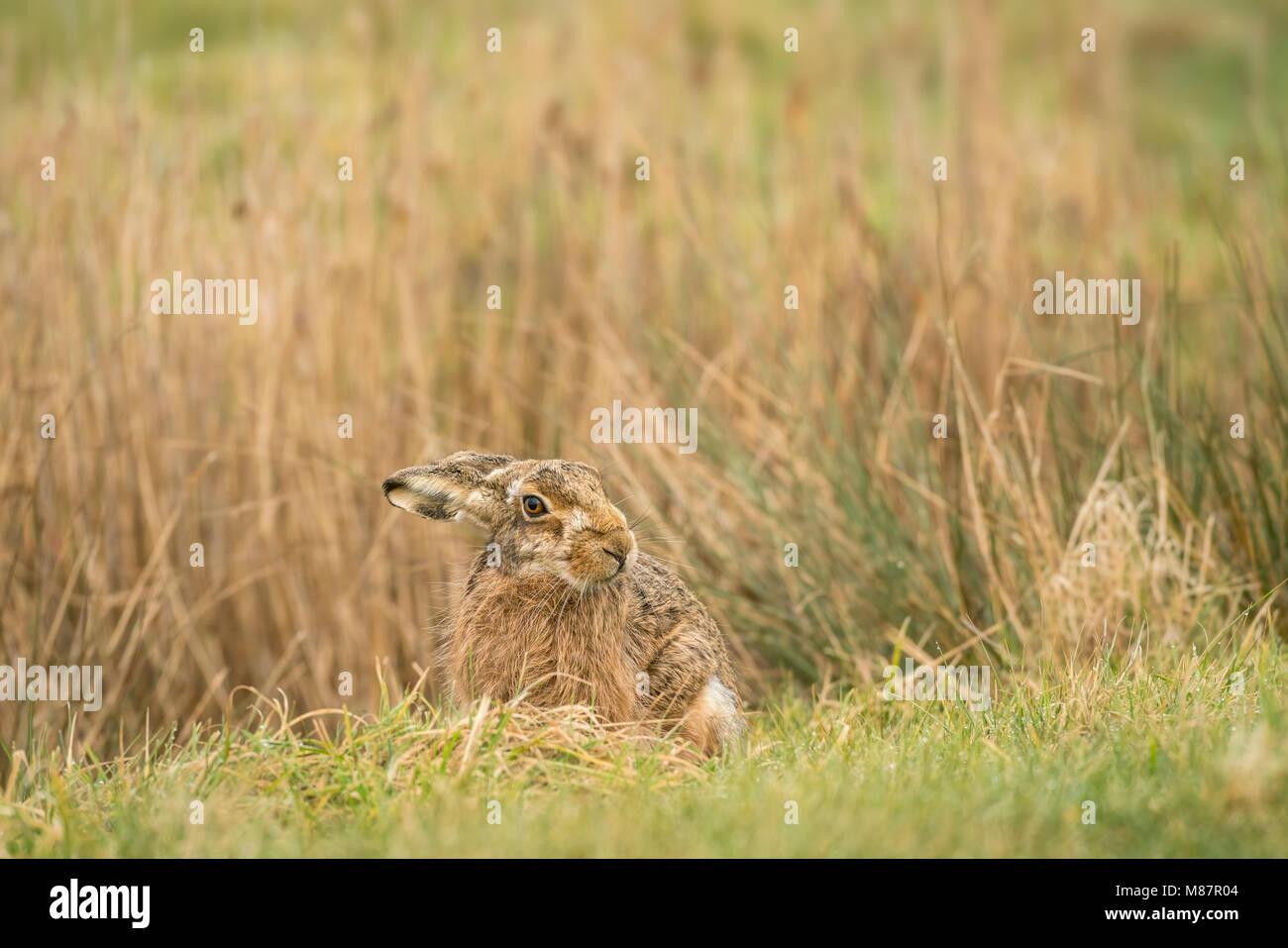 European brown hare,  Lepus europaeus, early March on rough Suffolk pastureland Stock Photo