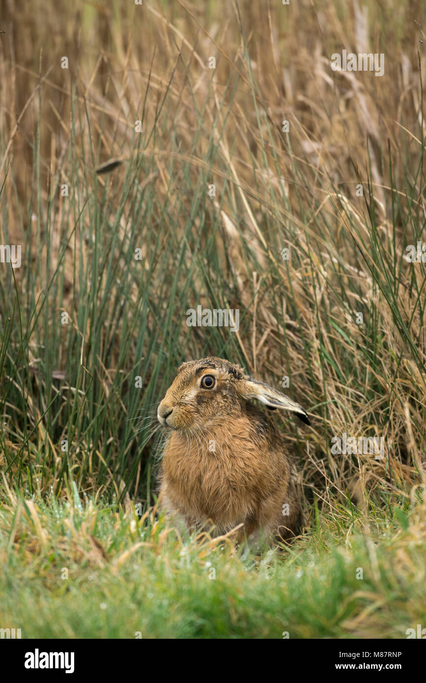 European brown hare,  Lepus europaeus, early March on rough Suffolk pastureland - Stock Image