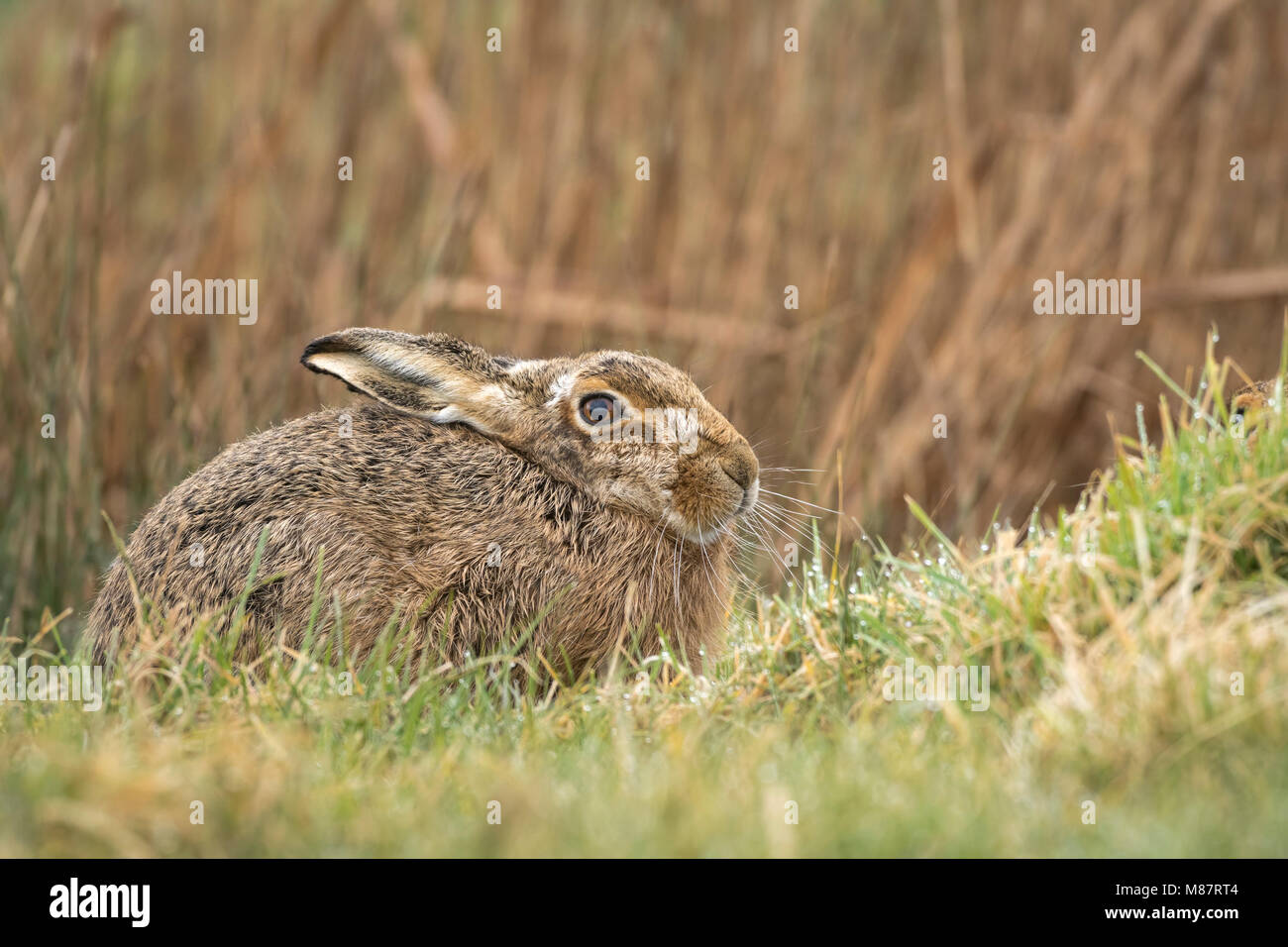 European brown hare,  Lepus europaeus, early March on rough Suffolk pastureland - Stock Image