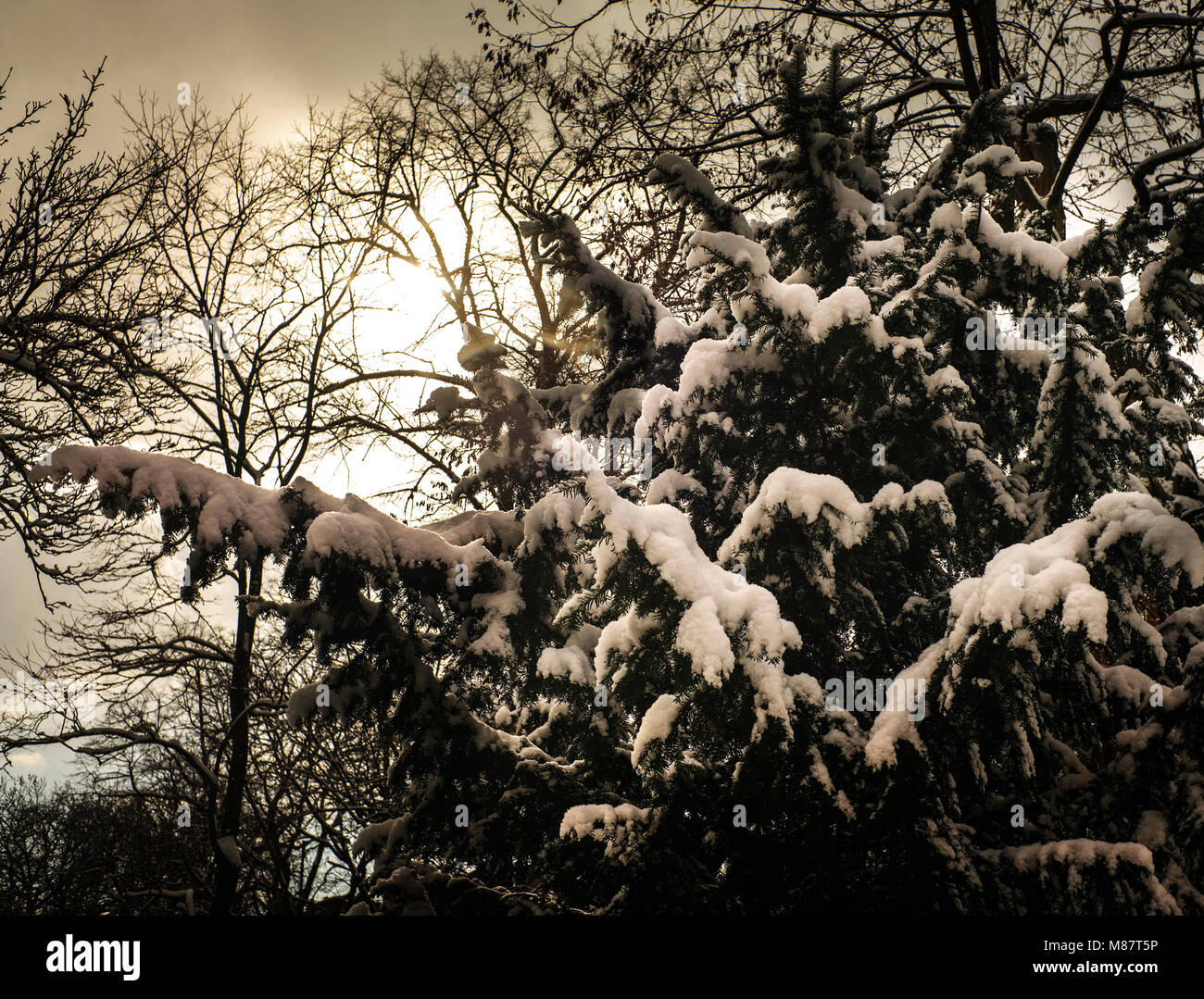 sun through clouds backlighting branches covered with snow - Stock Image