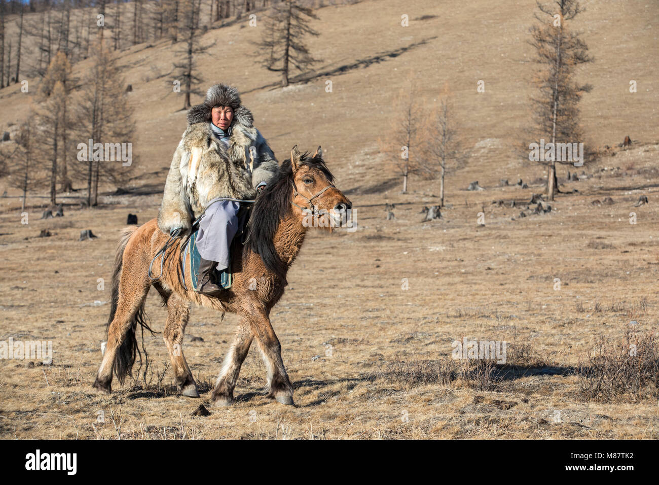 mongolian man wearing a wolf skin jacket, riding his horse in a steppe in Northern Mongolia - Stock Image