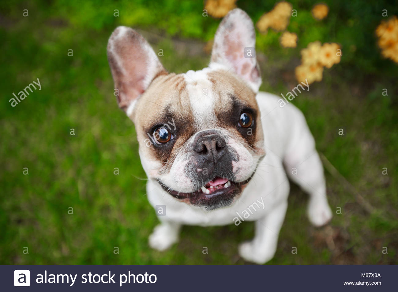 63a5e2c89383 Smiling brown and white French Bulldog Looking up from grass in front of  yellow flowers