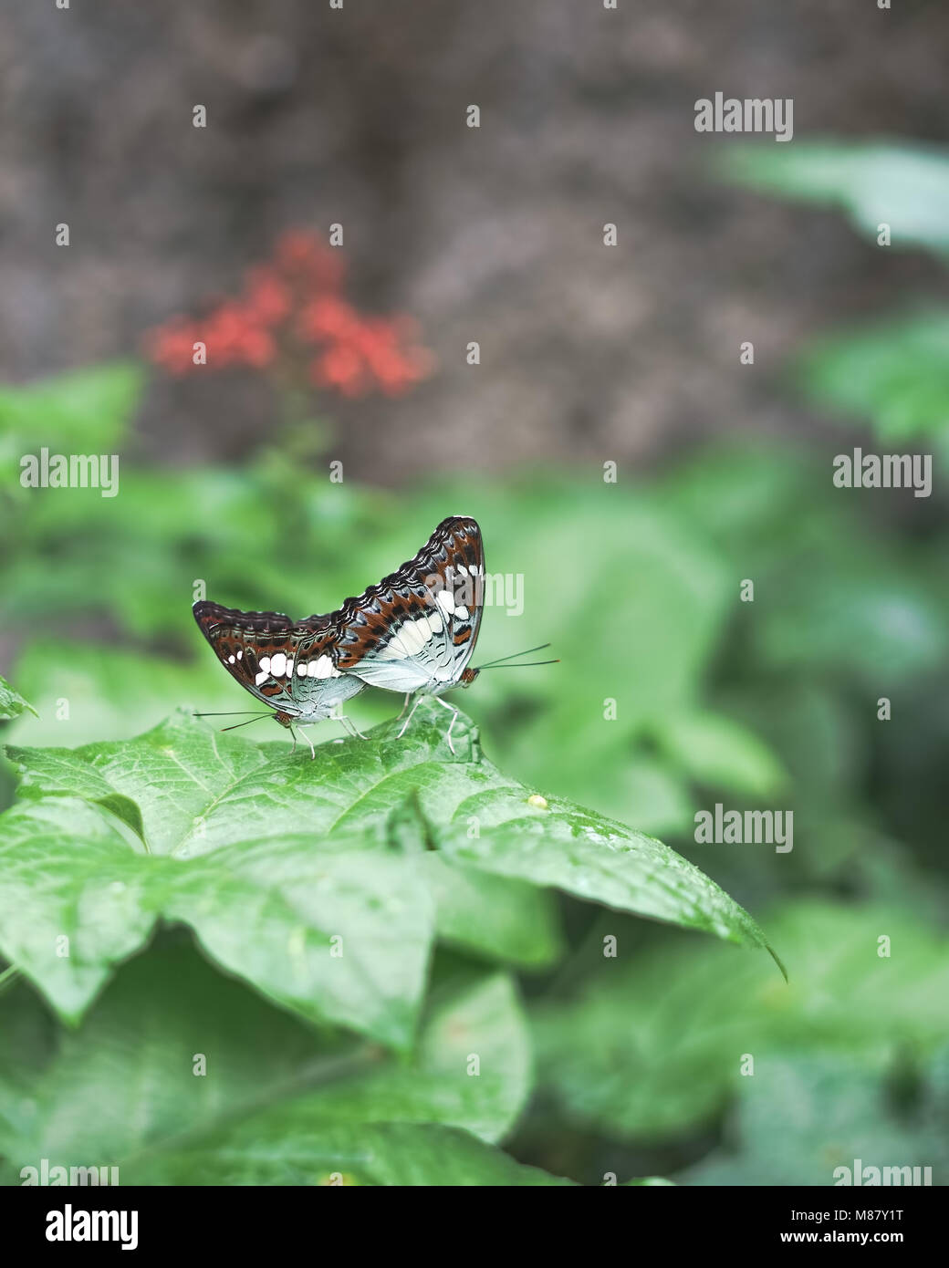 Two butterflies mating while perching on leaves. Limentis populi. Poplar admiral butterfly Stock Photo
