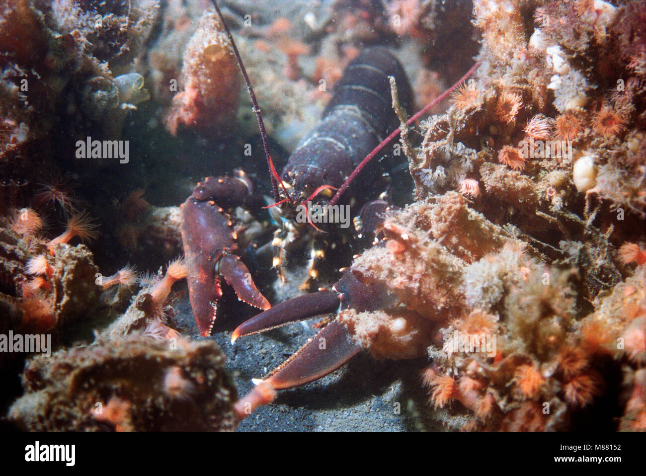 Lobster walking around with some red anemones around it - Stock Image