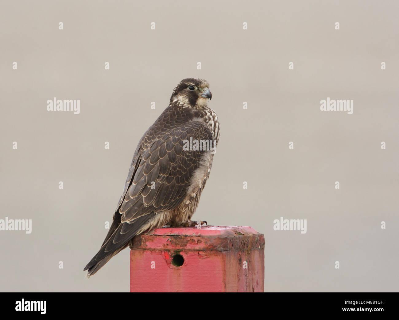 Onvolwassen Slechtvalk ziitend op een paal op het strand van Terschelling; Immature Peregrine Falcon (Falco peregrinus) perched on a pole on a Dutch b Stock Photo