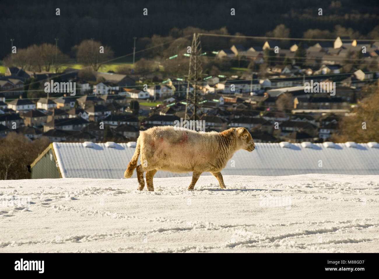 Sheep in a snow covered mountain field in winter - Stock Image