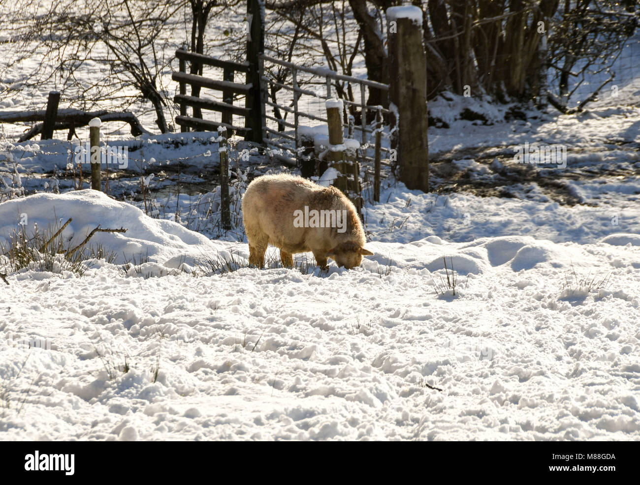 Sheep feeding in a snow covered field in winter - Stock Image