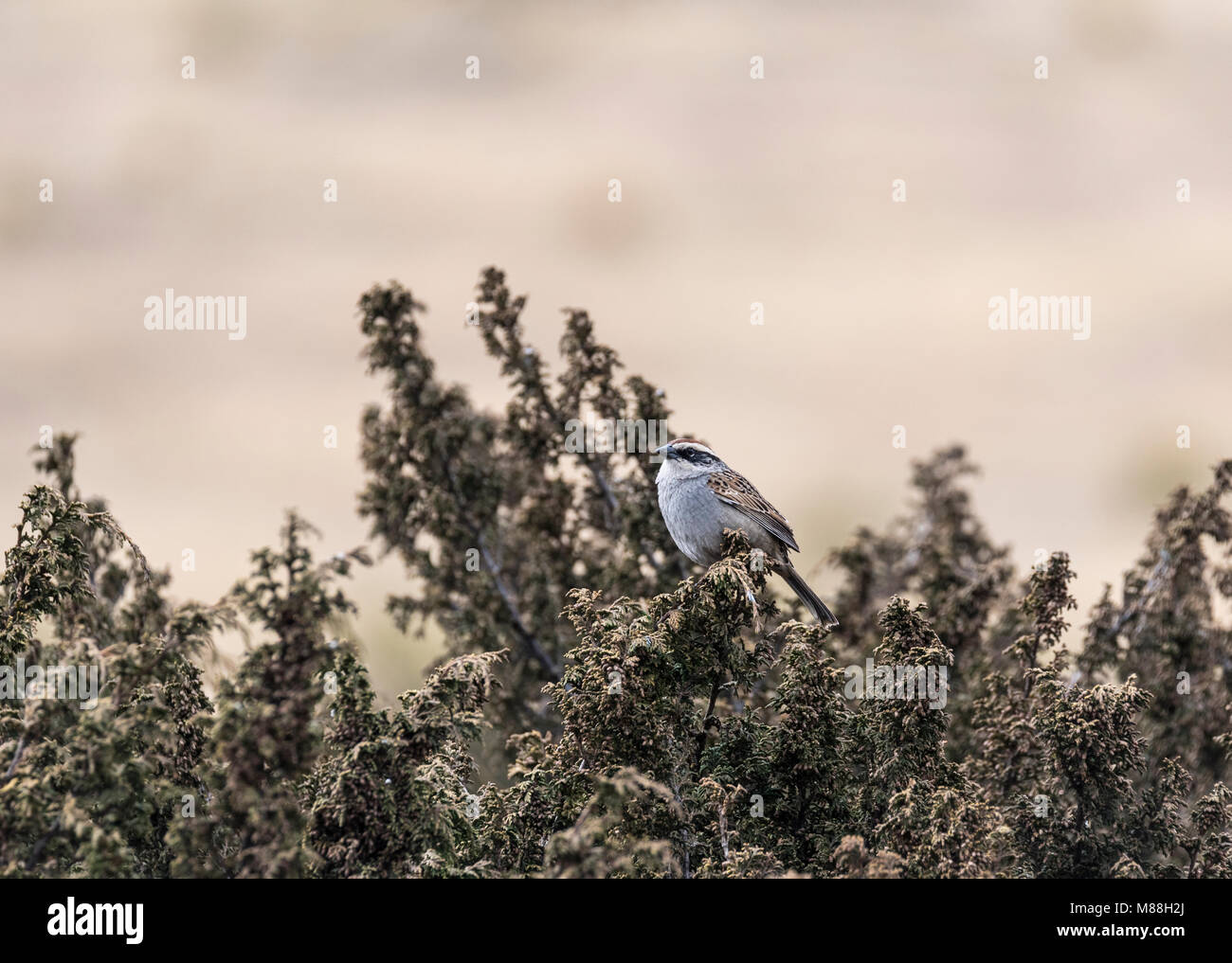 A Striped Sparrow (Oriturus superciliosus) sitting on a bush - Stock Image