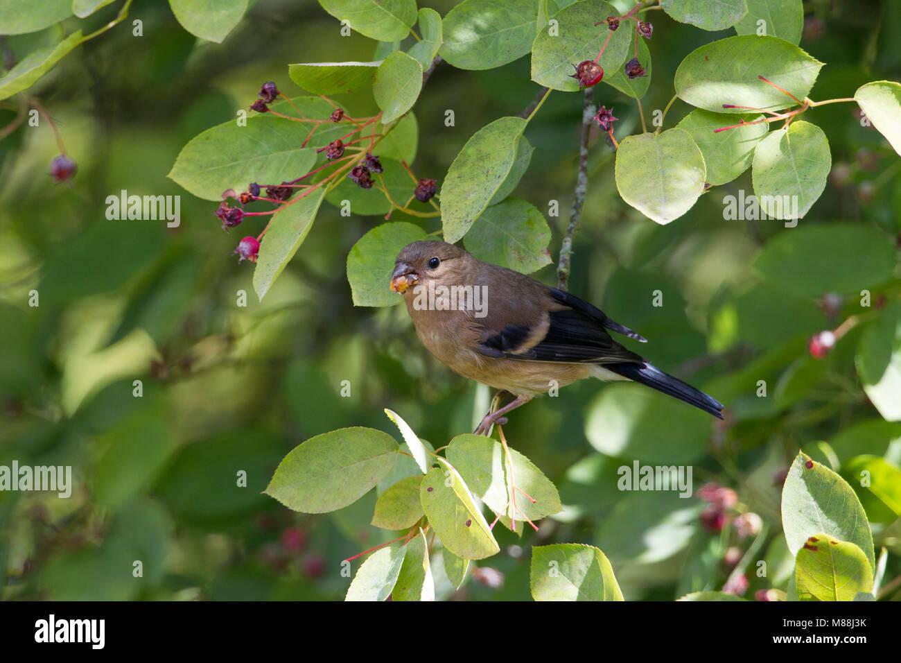 Bullfinch, Pyrrhula pyrrhula, single juvenile feeding on fruits of Amelanchier canadensis. Worcestershire, UK. - Stock Image