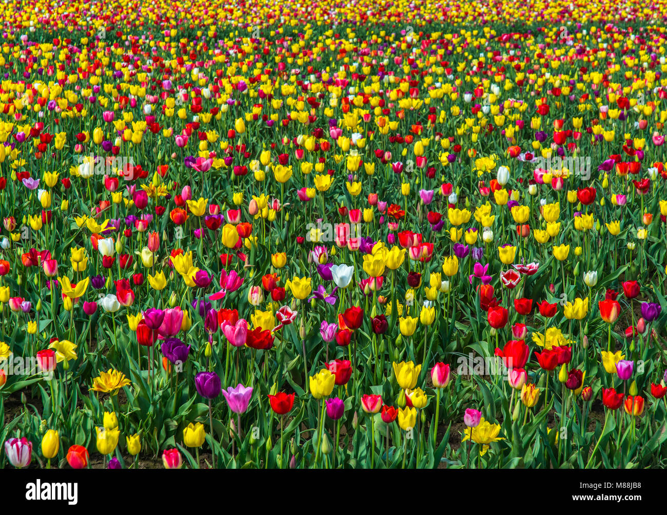 Tip Toeing through a spring field - Stock Image