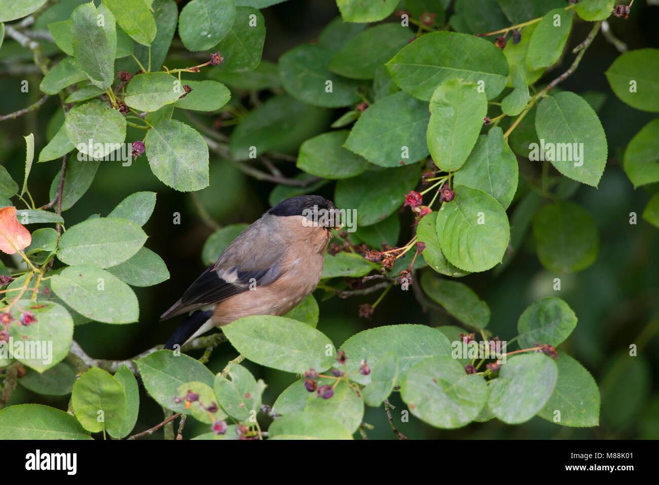 Bullfinch, Pyrrhula pyrrhula, single adult female feeding on fruits of Amelanchier canadensis. Worcestershire, UK. - Stock Image