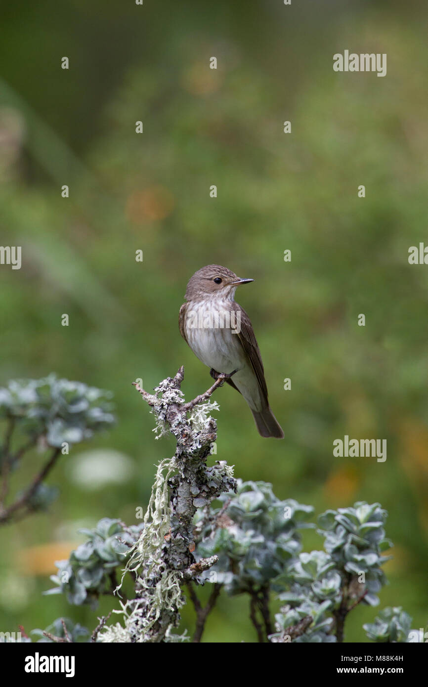 Spotted Flycatcher, Muscicapa striata, single adult perched on lichen covered twig. Summer migrant.  Taken June, - Stock Image