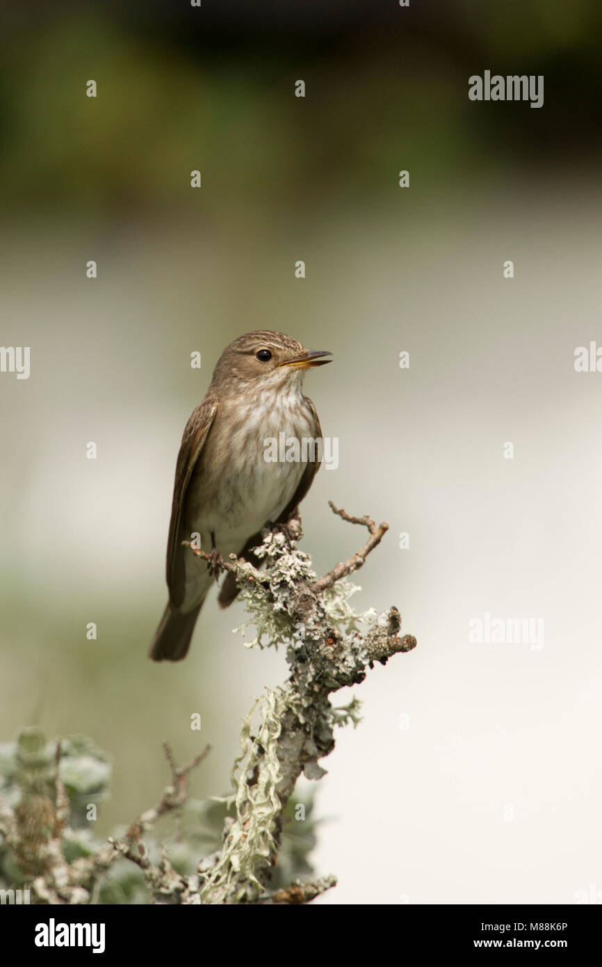 Spotted Flycatcher, Muscicapa striata, portrait of single adult singing on lichen covered twig. Summer migrant. - Stock Image