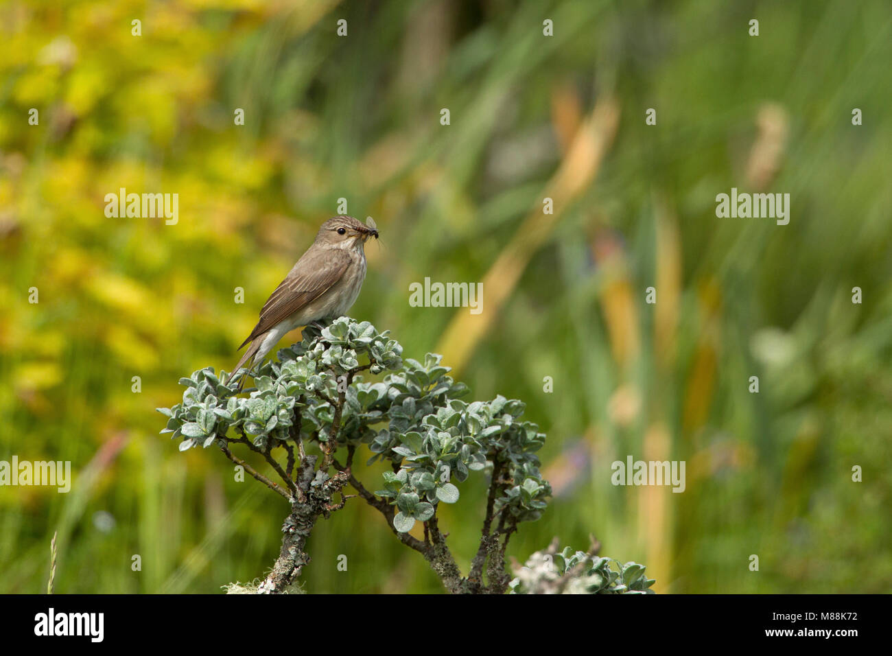 Spotted Flycatcher, Muscicapa striata, single adult perched on top of shrub with insect in bill. Summer migrant. - Stock Image