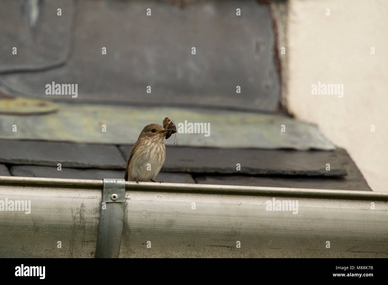 Spotted Flycatcher, Muscicapa striata, single adult perched on gutter of roof with butterfly in bill. Summer migrant. - Stock Image