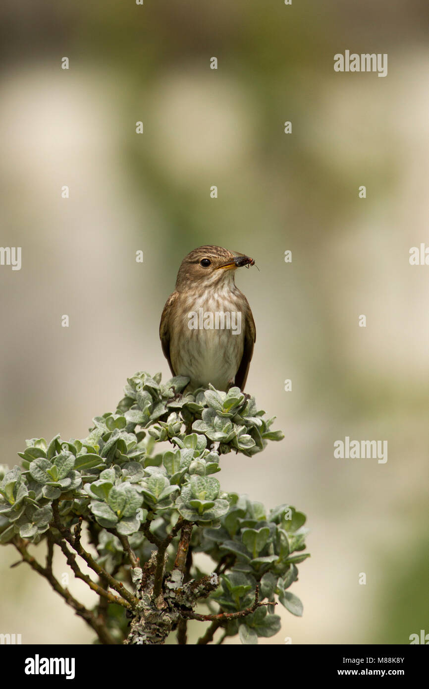 Spotted Flycatcher, Muscicapa striata, portrait of single adult perched on top of shrub with insect in bill. Summer - Stock Image