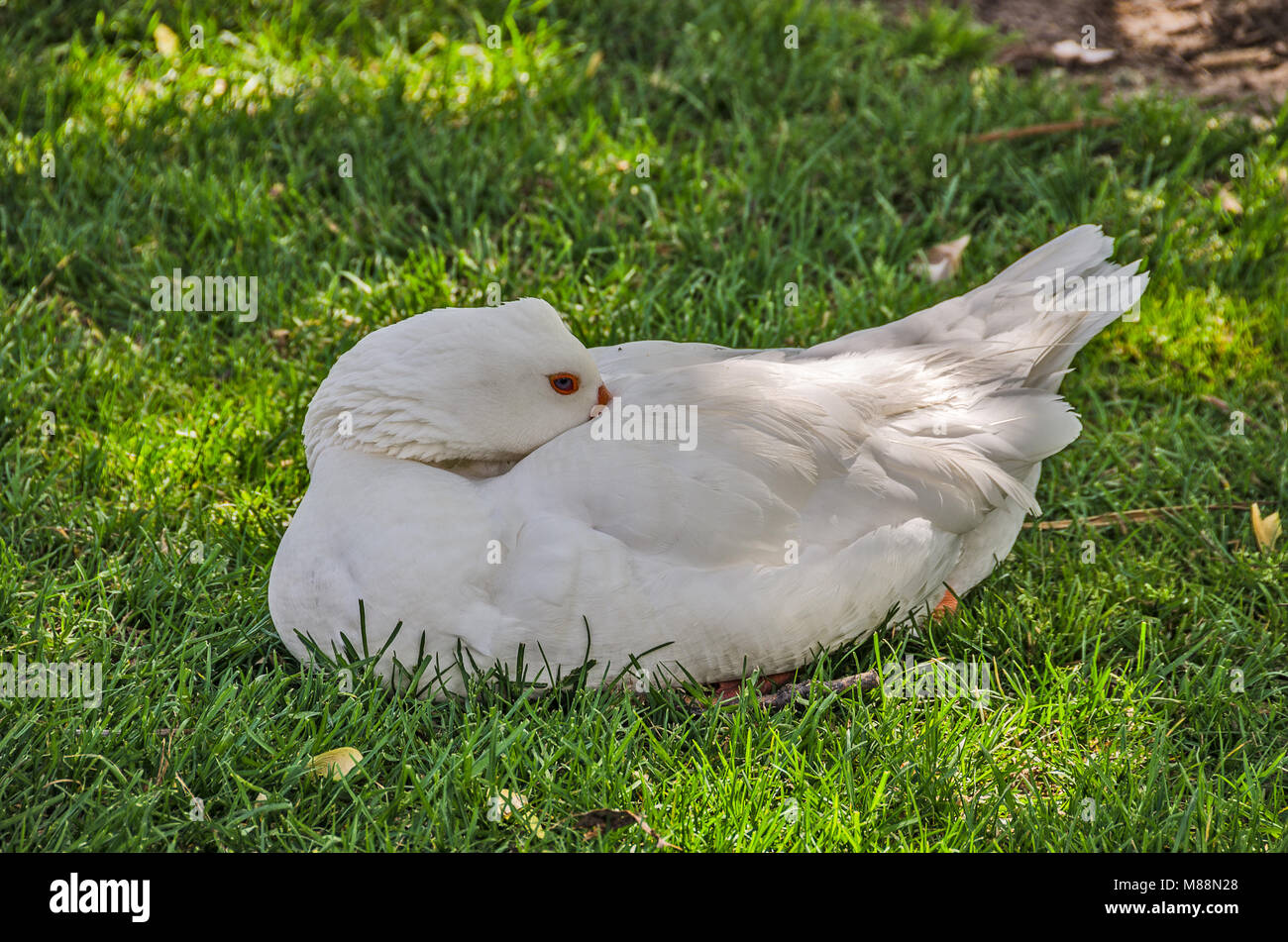 Domestic goose staying cool in the shade on the grass - Stock Image