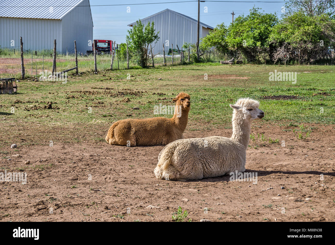 Llamas (lama glama) resting in the sun.  The brown one is alert to its surroundings while the white one seems to Stock Photo