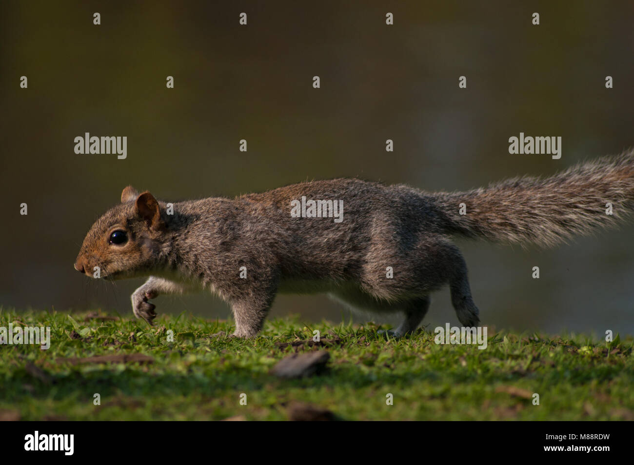 A Stalking Squirrel - Stock Image