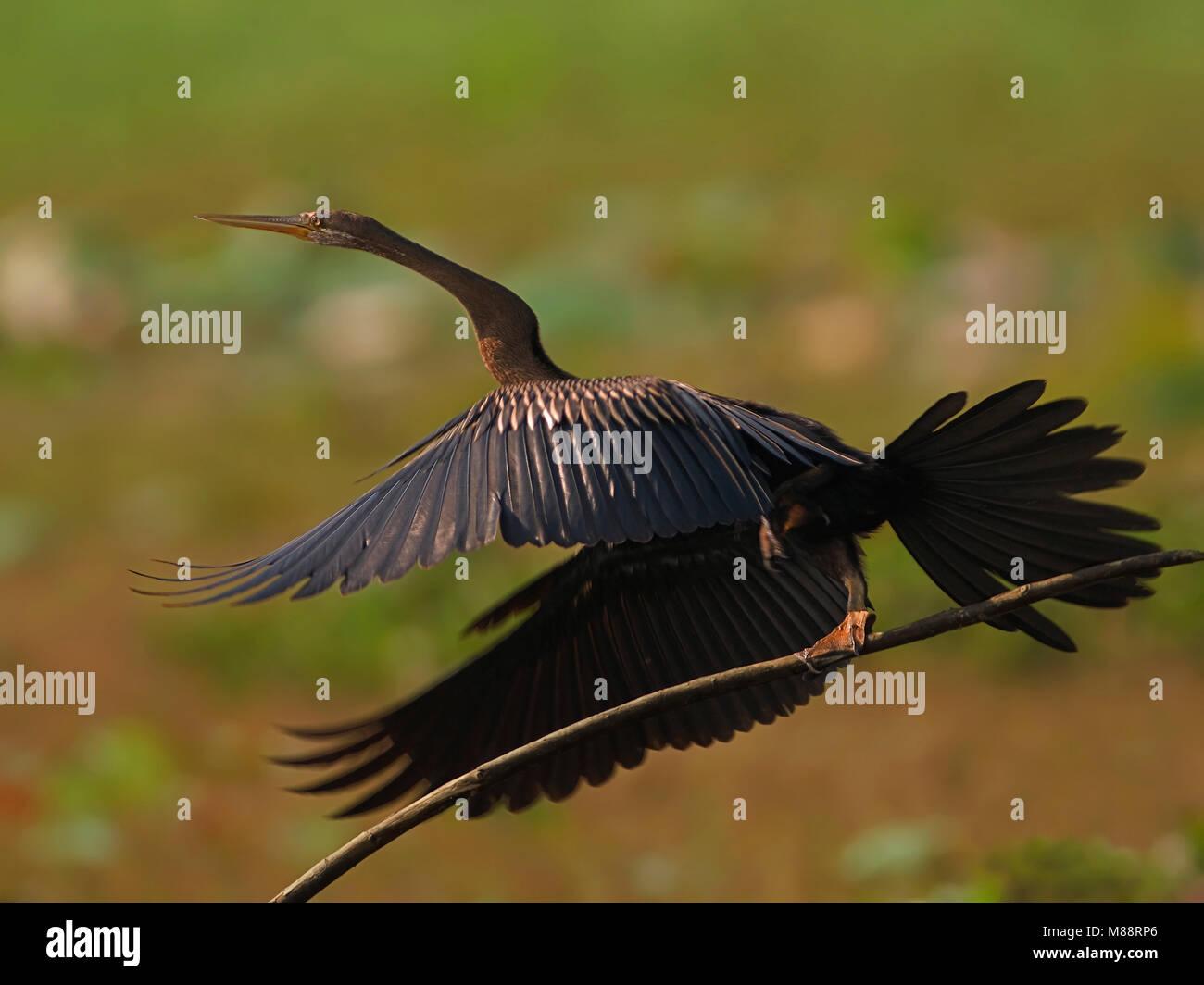 Opvliegende Indische Slangenhalsvogel, Oriental Darter setting off - Stock Image