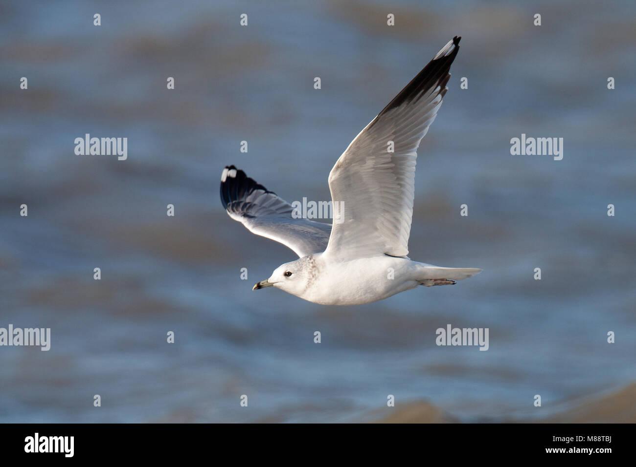 Vliegende Stormmeeuw in tweede winterkleed; Flying Mew Gull in second winter plumage - Stock Image