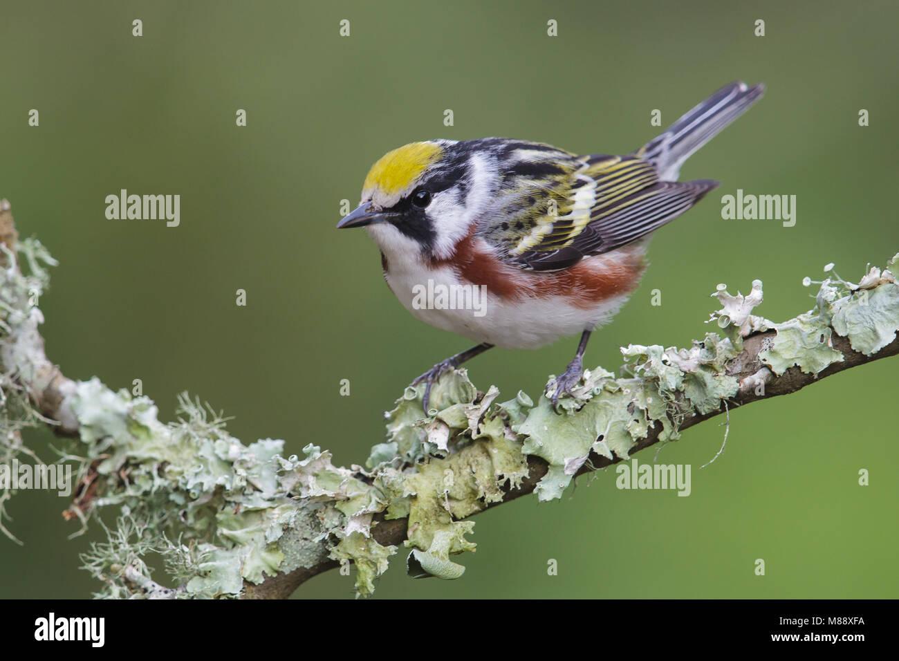 Mannetje Roestflankzanger, Male Chestnut-sided Warbler Stock Photo