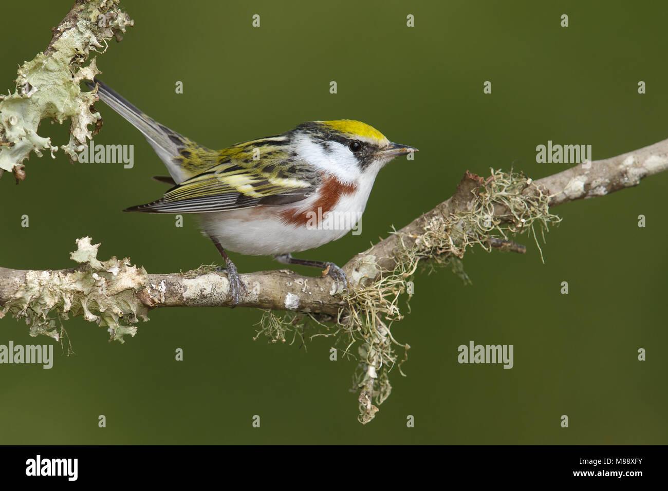 Vrouwtje Roestflankzanger, Female Chestnut-sided Warbler Stock Photo