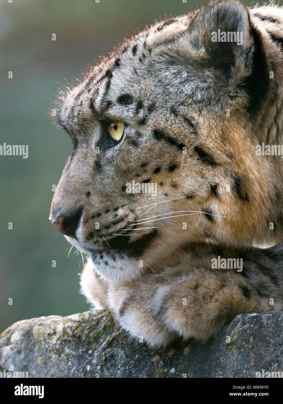 Portrait of captive Snow leopard or ounce Panthera uncia Stock Photo