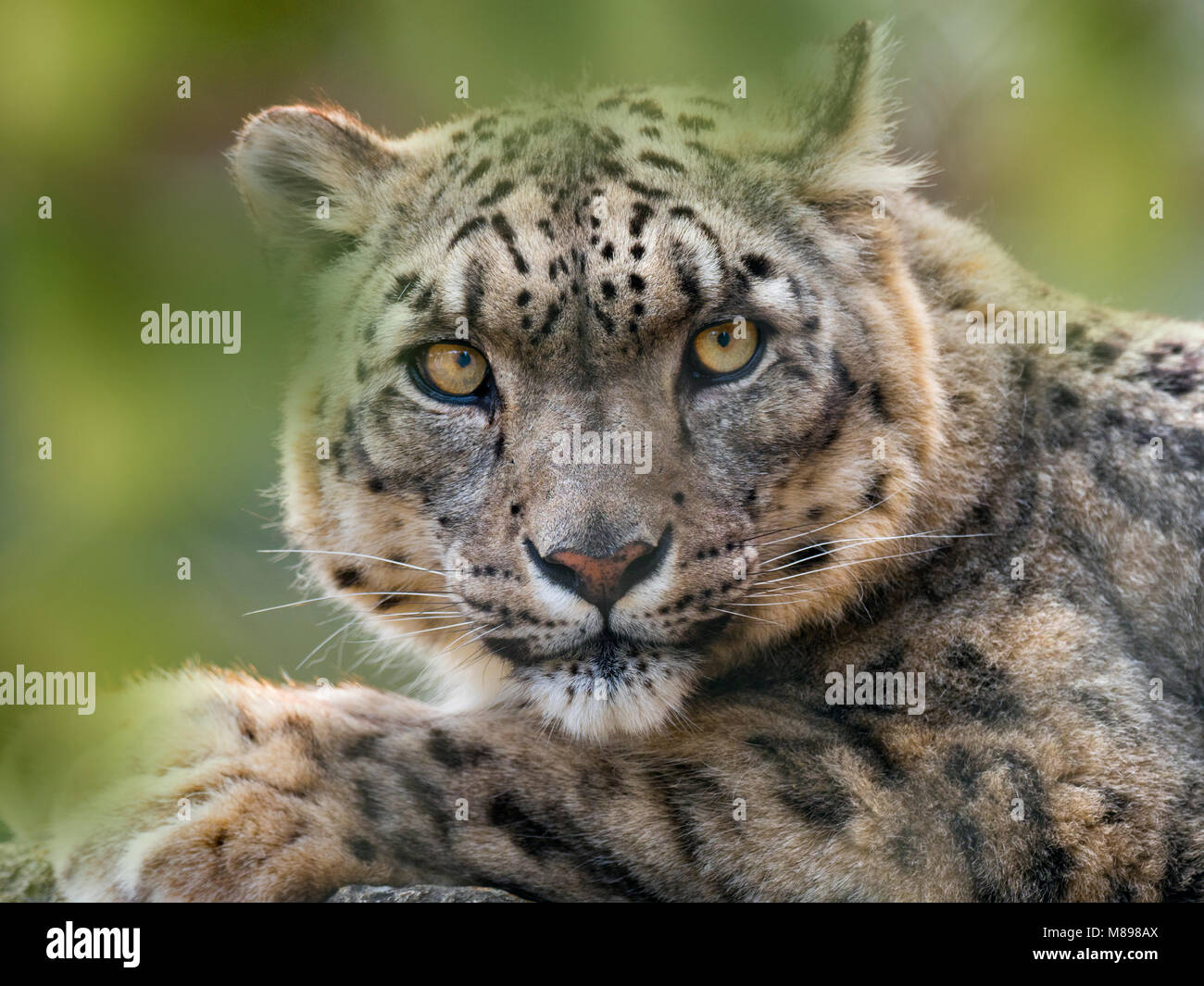 Snow leopard or ounce Panthera uncia Stock Photo