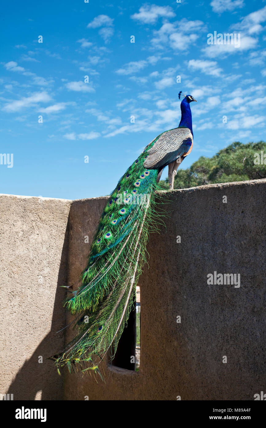 Blue peafowl (Pavo cristatus) at Citadel of Saint-Tropez, gulf of Saint-Tropez, french riviera, South France, Cote - Stock Image