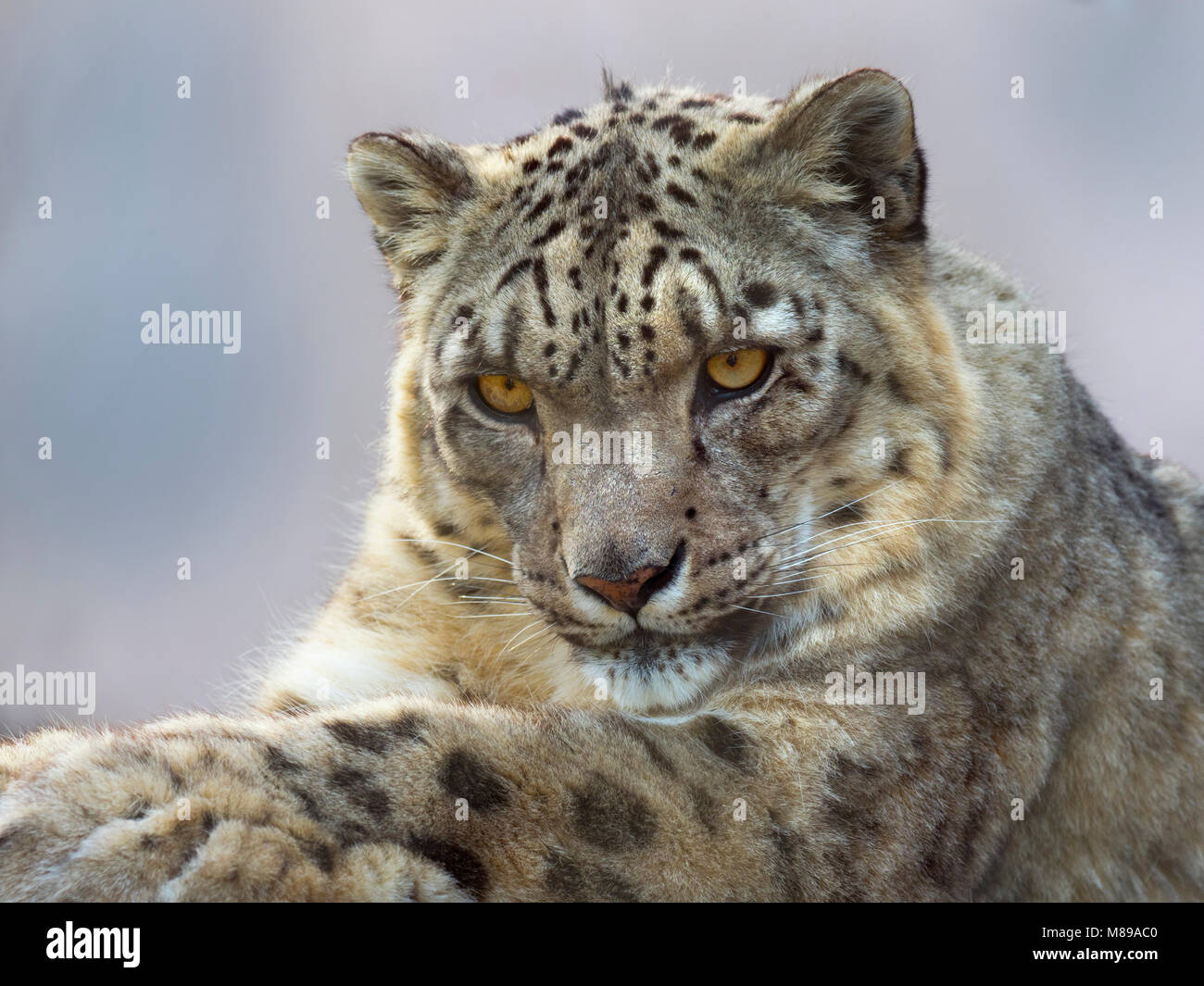 Snow leopard or ounce Panthera uncia - Stock Image