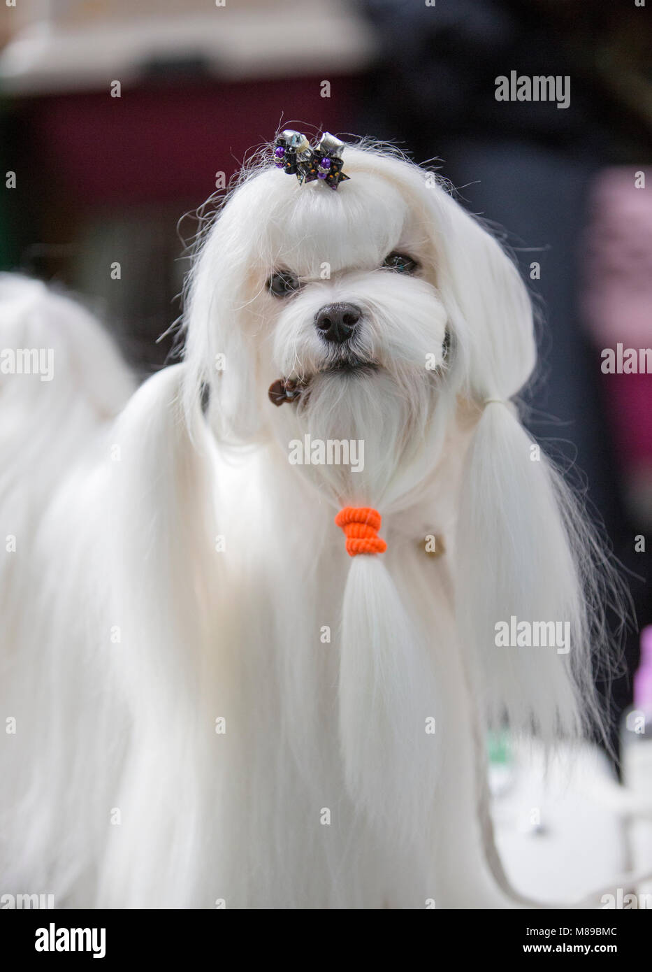 A Maltese dog at Crufts dog show in the UK - Stock Image