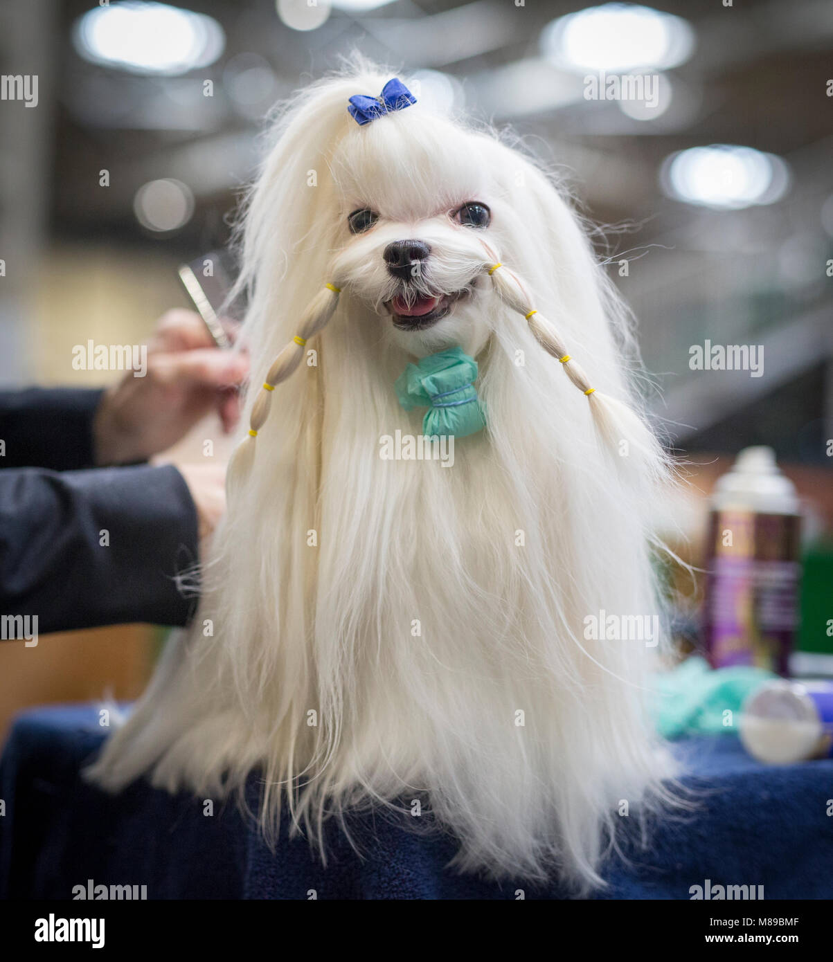 A Maltese being groomed ready for judging at Crufts dog show - Stock Image