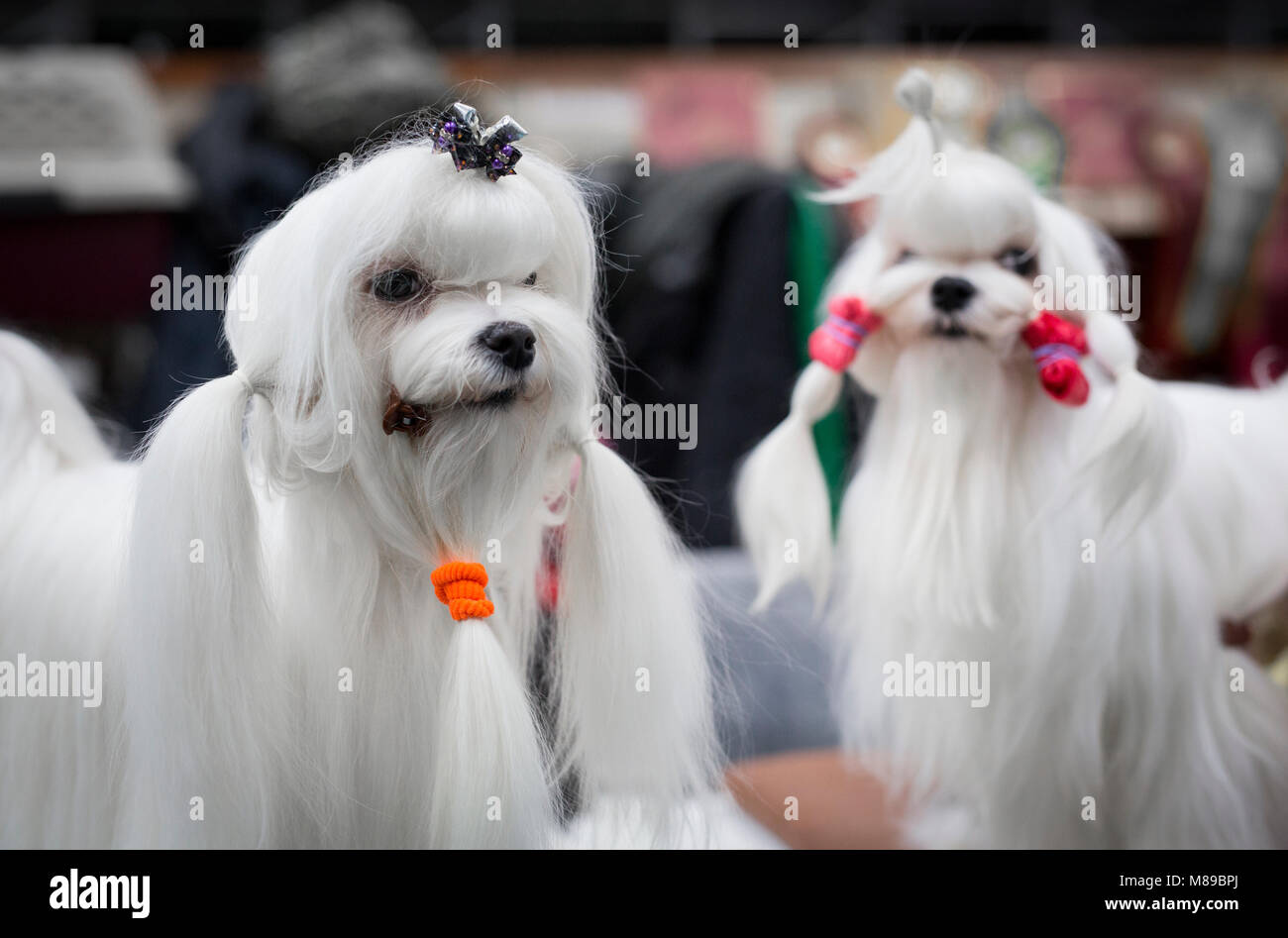 Two Maltese dogs at Crufts dog show in the UK - Stock Image