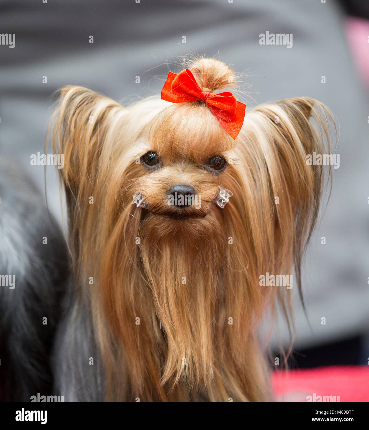 A Yorkshire Terrier groomed and ready to be judged at Crufts dog show - Stock Image